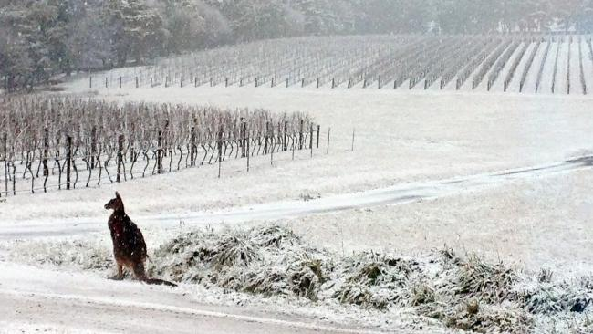 aussie and kangaroo in winter
