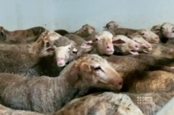sheep for export