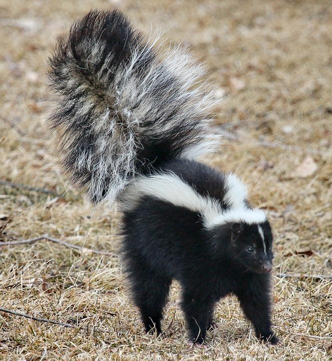 skunk-1239764_960_720