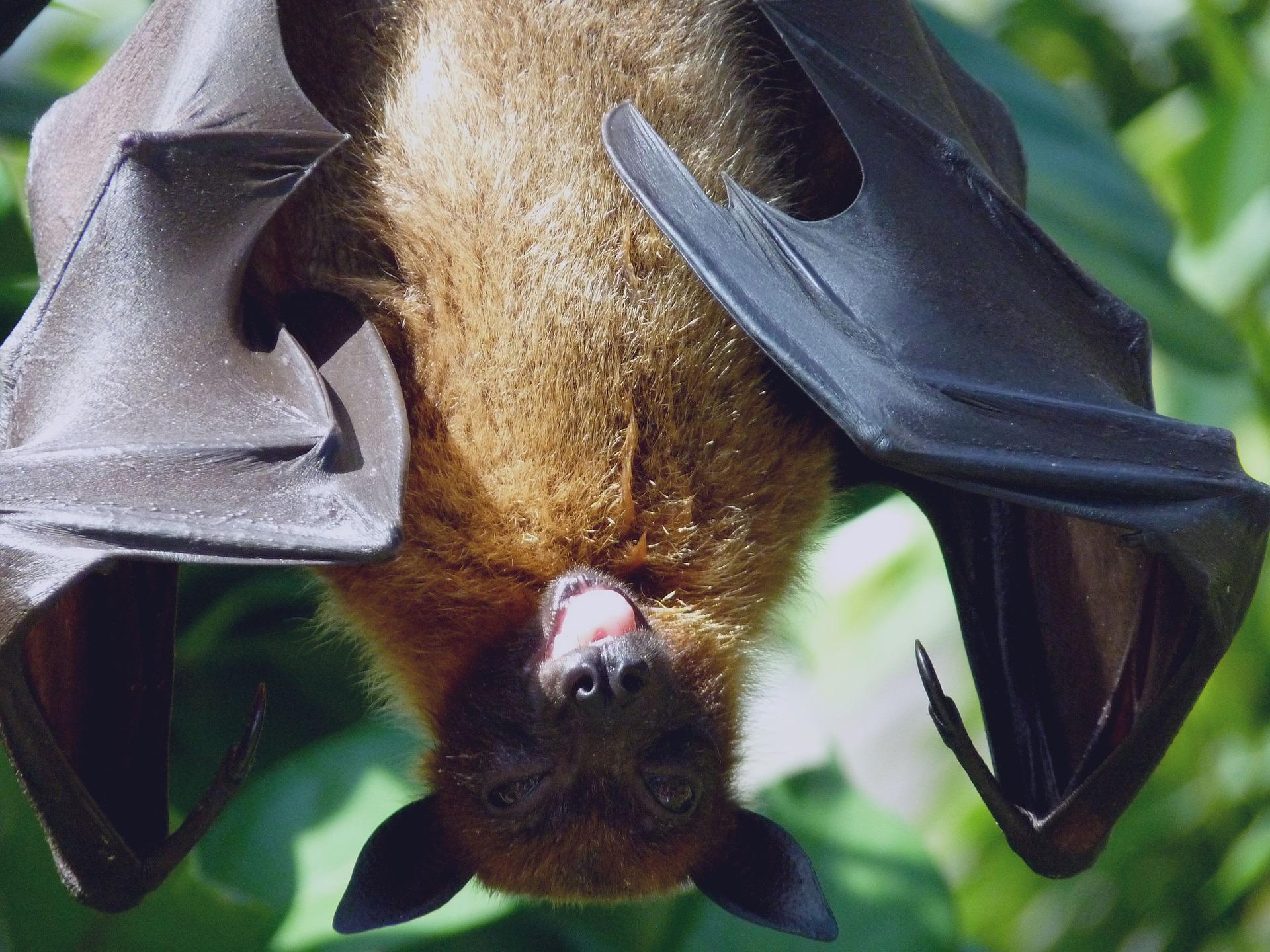 bat flying-dog-1633706_1920